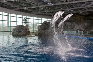 Dolphins jumping, Shedd Aquarium